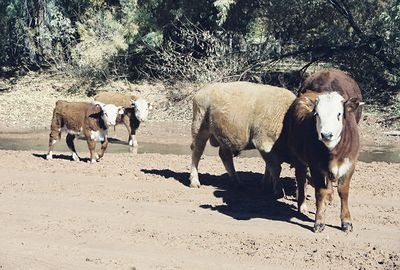 11/13/99 Navajo cattle on canyon floor of Canyon de Chelly National Monument. Chinle, Apache County, AZ