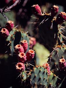 Prickley pear fruit, White House Ruin Trail, Canyon de Chelly, Arizona. October, 2003.
