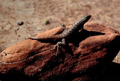 Lizard, White House Ruin Trail, Canyon de Chelly, Arizona. October, 2003.