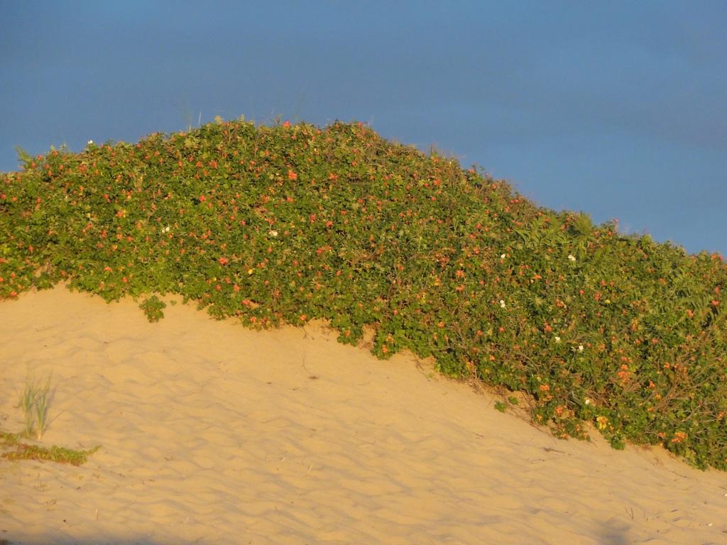 Beach Plums at Sunset