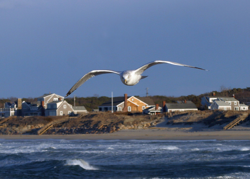 Seagull at Corporation Beach, Dennis, Cape Cod Massachusetts