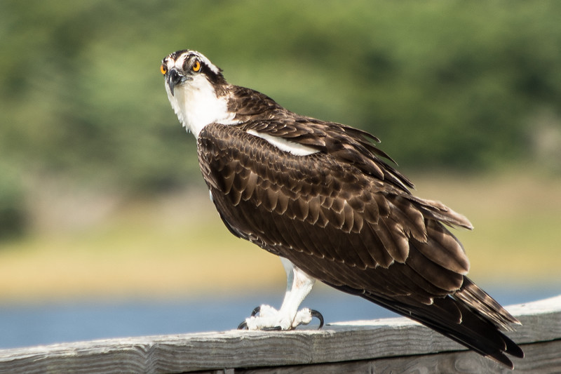 Osprey on Neighbour's Deck