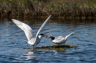 One Good Tern Serves Another.....