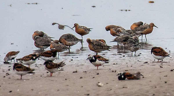 Red Knots, Ruddy Turnstone and Dunlin