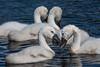 Cygnets Feeding