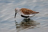 Dunlin (Red-Backed Sandpiper)