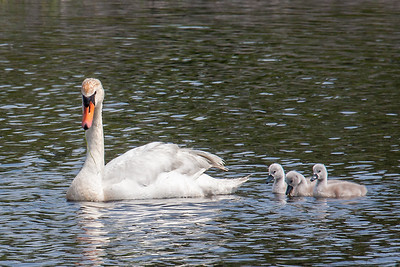 Proud Mom with her Three Cygnets