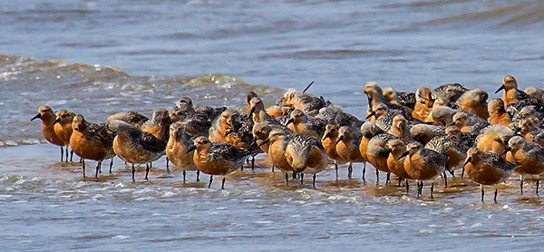 Red Knot Gathering