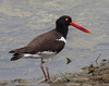 American Oyster-Catcher