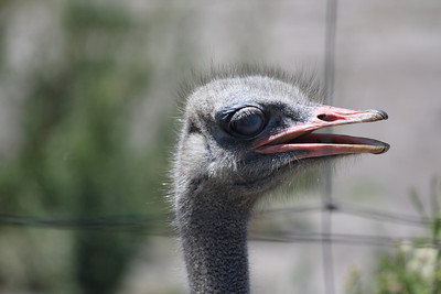 A stop at the Ostrich farm on the way to Boulder Beach.