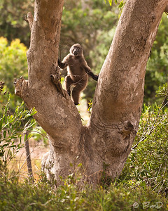 Baboon in a tree, Cape Town, SA