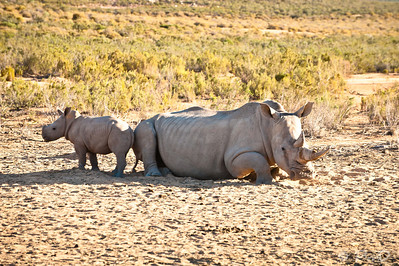 White rhino and her baby - Aquila game reserve