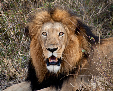Satisfied male.  The night before this guy and his mate downed a Bushbuck about 50 yards from this spot.  We'd heard of the kill and investigated it, then returned this morning to see if the lions were still around.  They'd moved the buck to a more secluded spot under a tree, and consumed quite a bit more of it.  The pair were lounging in the shade clearly satisfied with their kill.