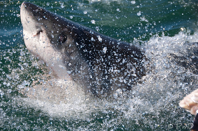 Great White Shark, Gansbaai, SA