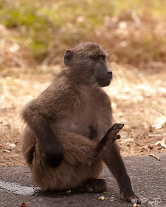 Baboon on the road - Cape Town, SA