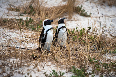 A pair of penguins enjoying the breeze - Boulders Beach, Cape Town, SA