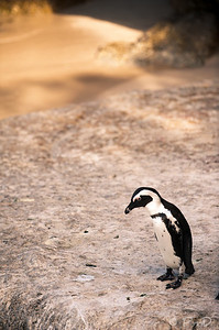 South African Penguin - Boulders Beach, Cape Town, SA