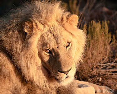 Lion catching some morning sun - Aquila game reserve