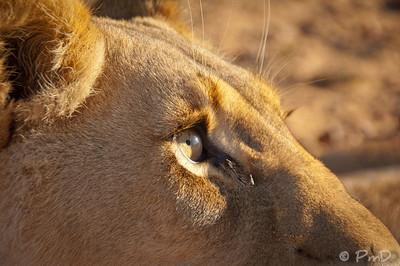 Curious lioness - Aquila game reserve