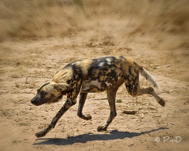 An African dog coming back to it's pack.  Interesting body language on this guy.