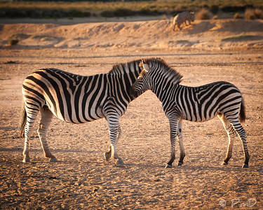 Zebras playing - Aquila game reserve