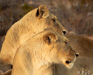 2 lioness' - Aquila game reserve