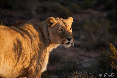 Lioness in the morning - Aquila game reserve