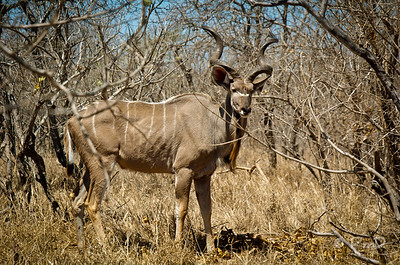 This is a Kudu, and a pretty large one at that.