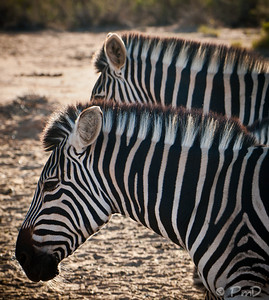 A pair of zebra - Aquila game reserve