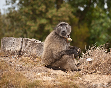 Baboon enjoying a snack - probably stolen from somebody's kitchen! - Cape Town, SA.