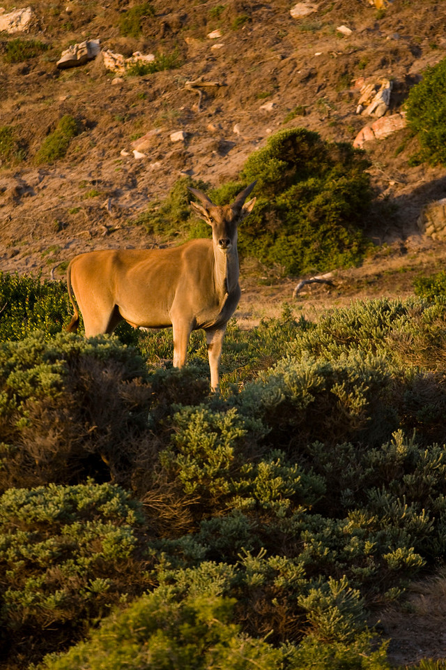 Eland (elk) at Cape Point.