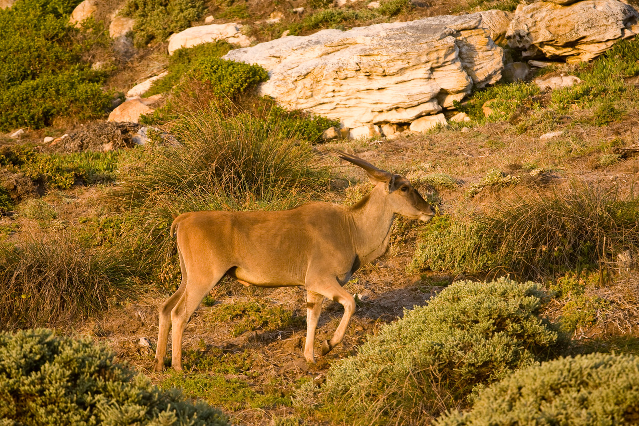 Eland at Cape Point.