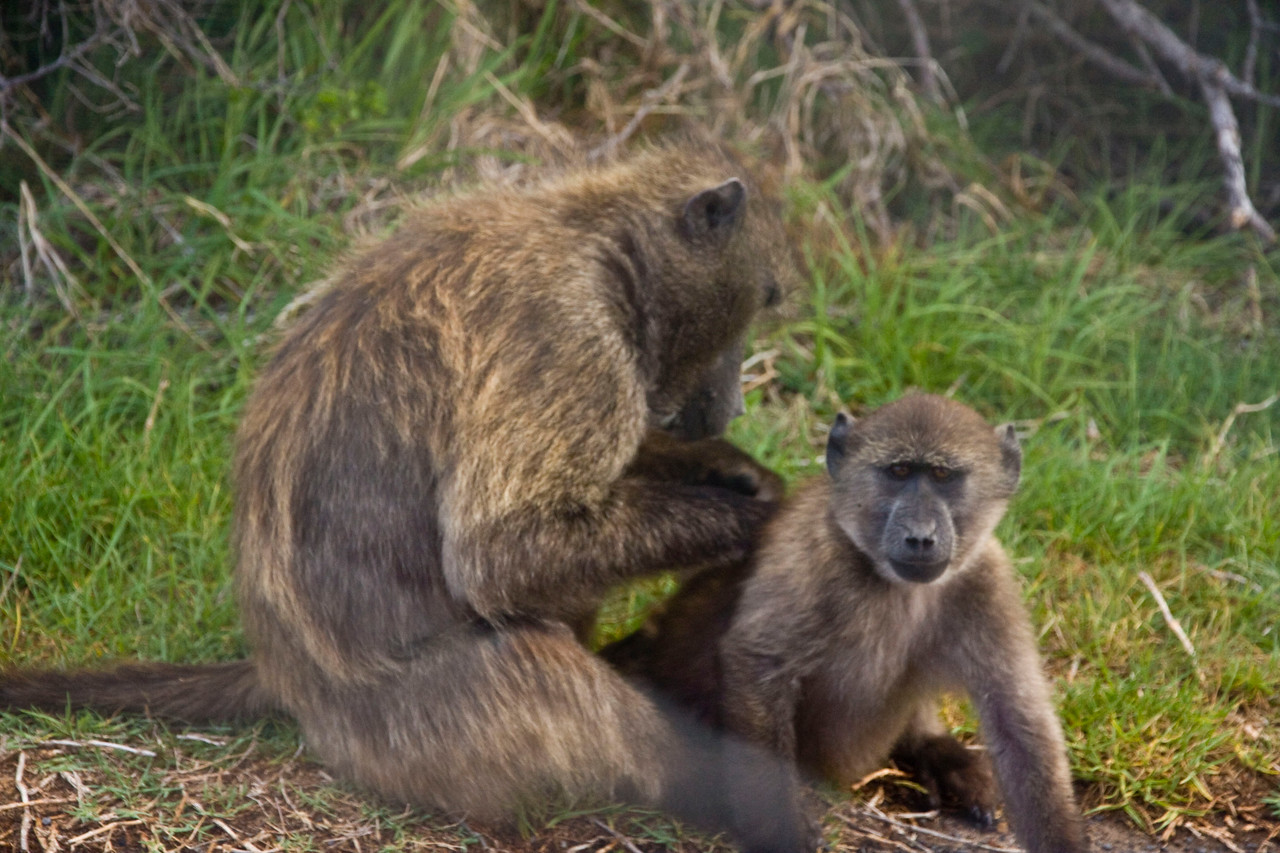 Mommy & baby baboons.