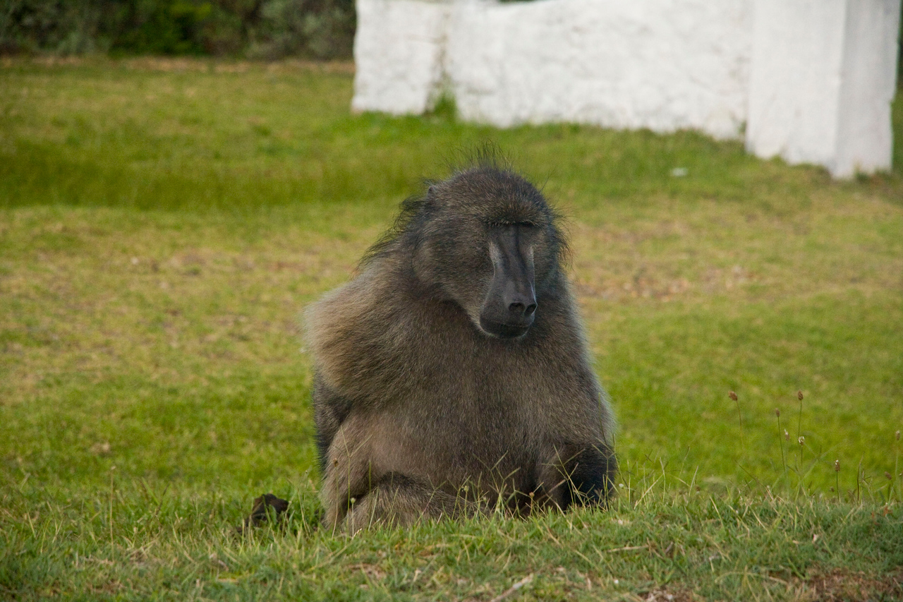 Big male baboon.
