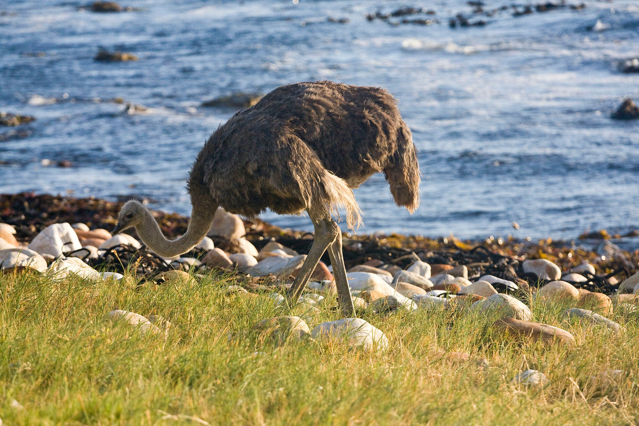 Ostrich at Cape Point.