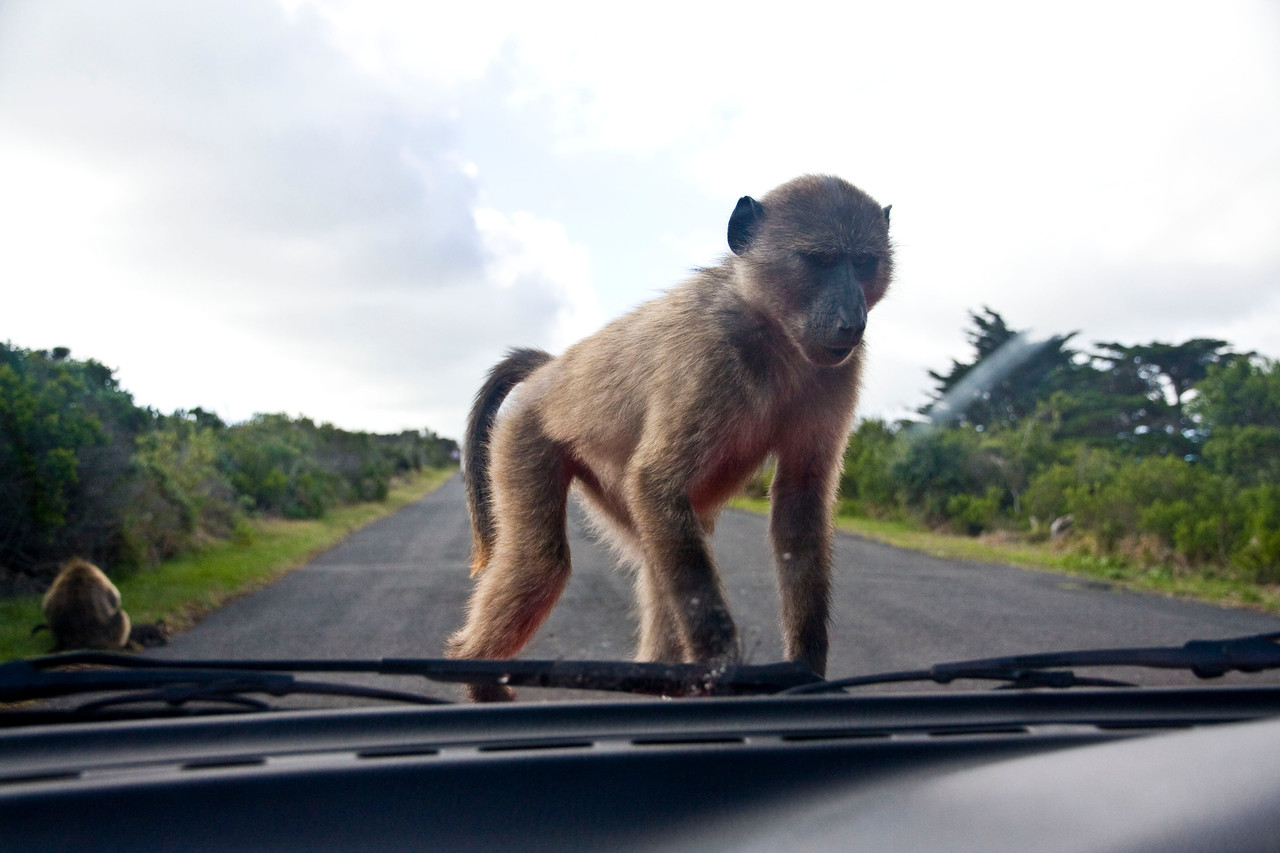 Young baboon on our car.