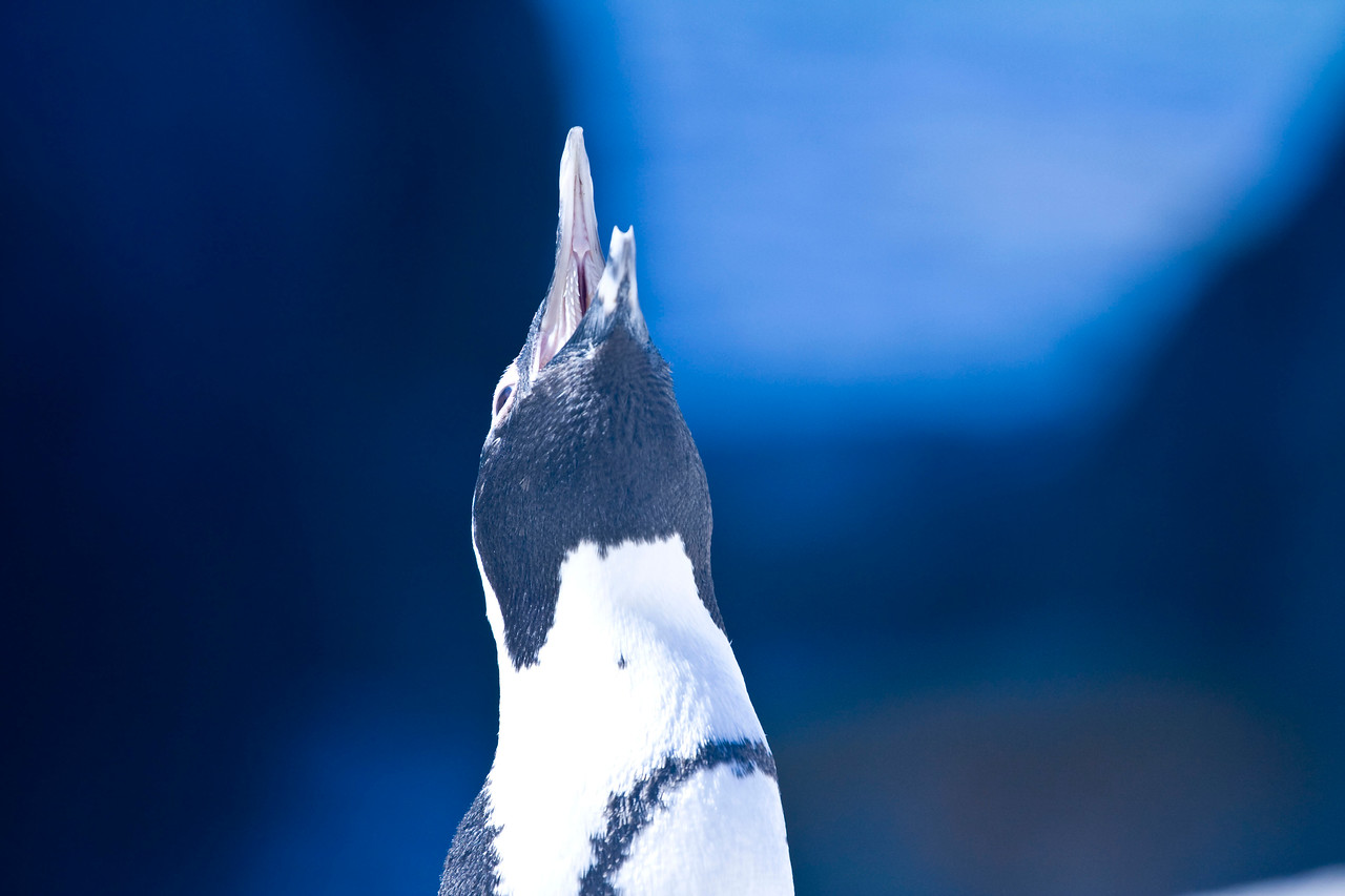 South African penguin.
