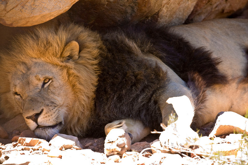 Lion at rest.
