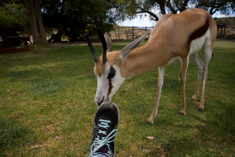 Domesticated springbok interested in my sneaker.