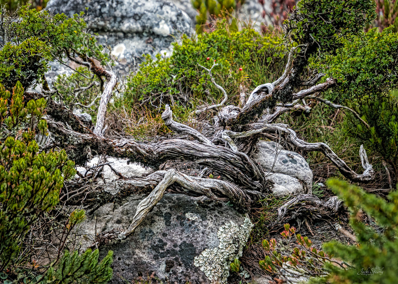 20190514-126 Cape Town Table Mtn, Dead tree, rocks and new vegetation 1
