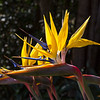 Mandela Bird of Paradise