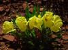 Yellow Desert Primrose