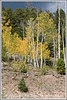 Aspens are showing their fall colors in Utah; a storm is brewing over the mountain; best viewed in a larger size