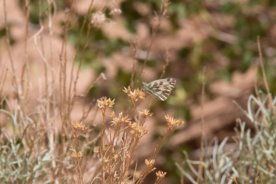 Pearly Marble Butterfly