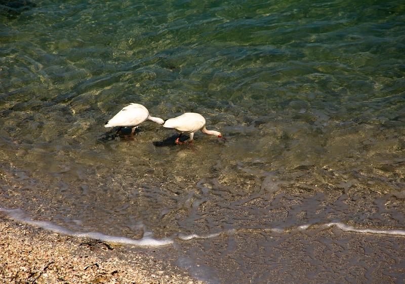 A Pair of Ibis 1