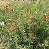 Carbondale flora
