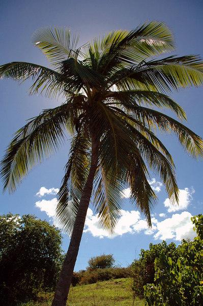 A coconut tree.