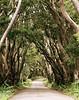Mahogany grove.