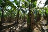 Banana plantation.
