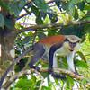 Granada monkey